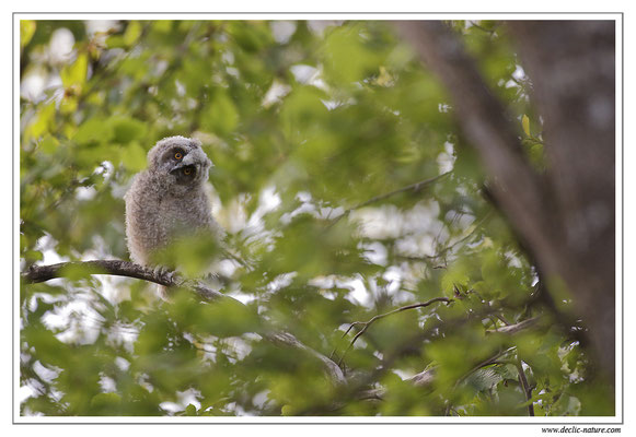 Photo 20 (Hibou moyen-duc - Asio otus - Long-eared Owl)