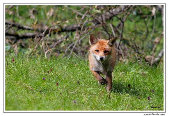 Photo Renard_33 (Renard roux -Vulpes vulpes - Red Fox)