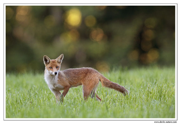 Photo Renard_63 (Renard roux -Vulpes vulpes - Red Fox)