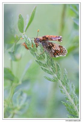 Mélitée des mélampyres - Mellicta athalia (6)