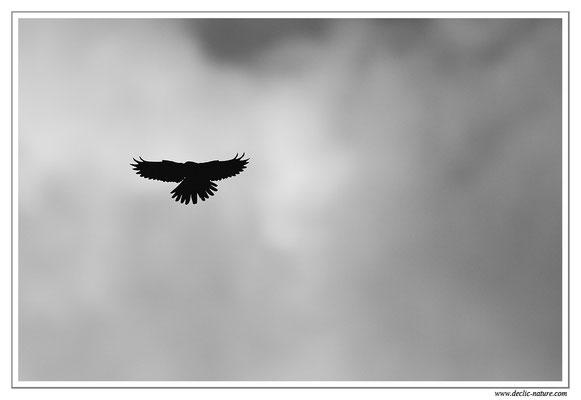 Photo 35 (Faucon crécerelle - Falco tinnunculus - Common Kestrel)