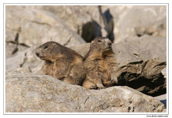 Photo Marmotte_M24