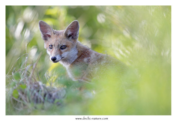 Photo Renard_143 (Renard roux -Vulpes vulpes - Red Fox)