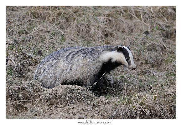 Photo_Blaireau_65 (Blaireaux - Meles meles - Eurasian Badger)