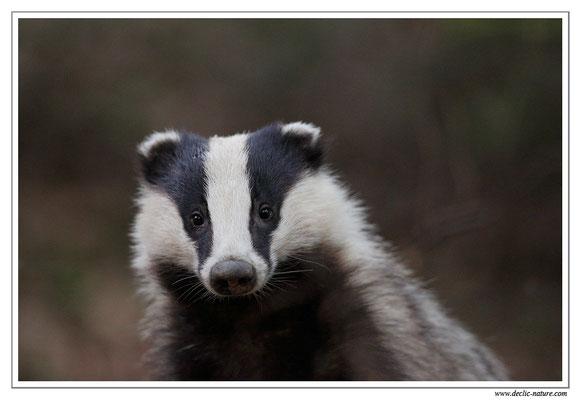 Photo_Blaireau_41 (Blaireaux - Meles meles - Eurasian Badger)