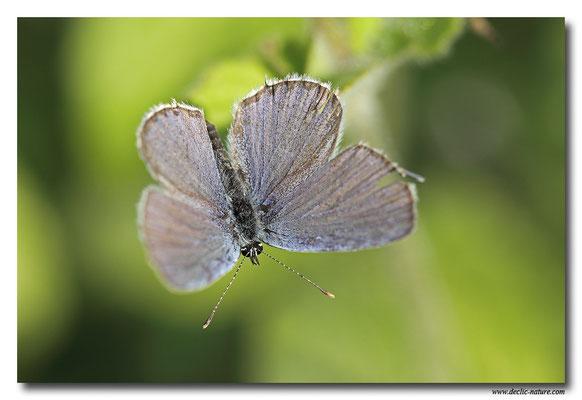 Azuré de la faucille - Everes alcetas (1)