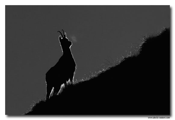 Photo Chamois_6 (Chamois - Rupicapra rupicapra )
