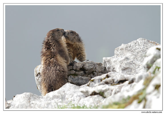 Photo Marmotte_9