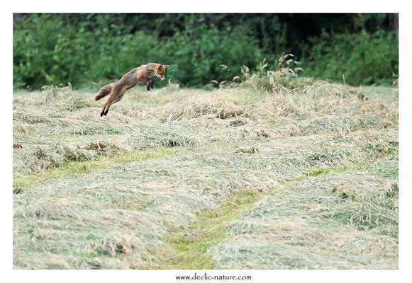 Photo Renard_205 (Renard roux -Vulpes vulpes - Red Fox)