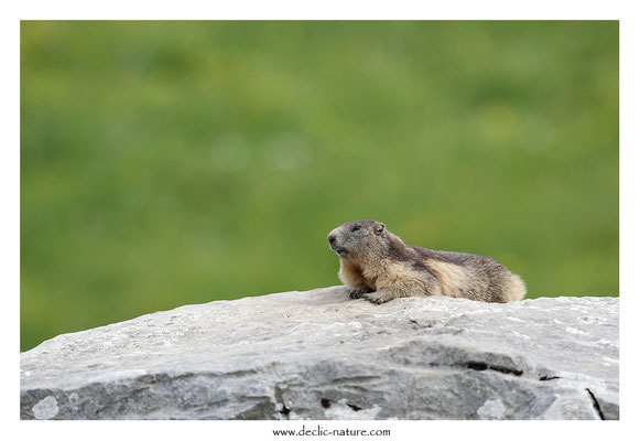 Photo Marmotte_57