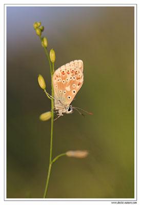 Polyommatus bellargus ou coridon (4)
