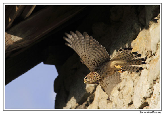 Photo 6 (Faucon crécerelle - Falco tinnunculus - Common Kestrel)