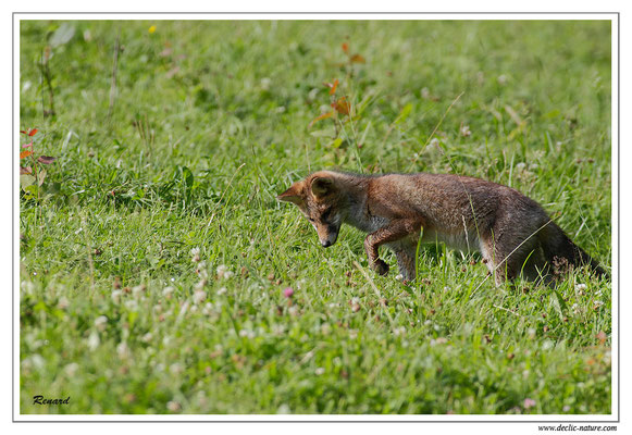 Photo Renard_39 (Renard roux -Vulpes vulpes - Red Fox)