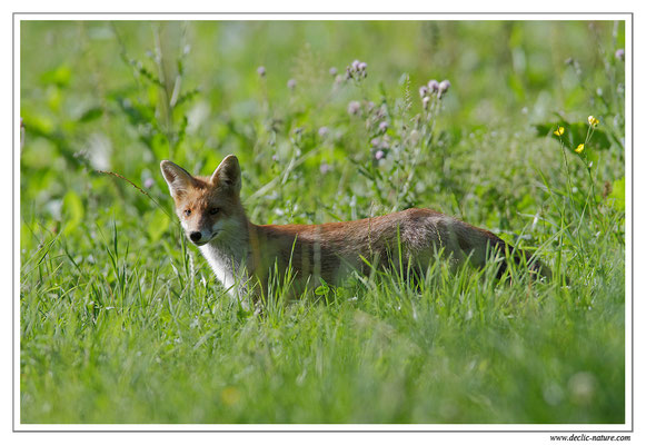 Photo Renard_40 (Renard roux -Vulpes vulpes - Red Fox)