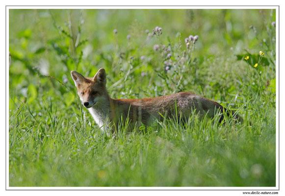 Photo Renard_40 (Renard roux -Vulpes vulpes - Red Fox)