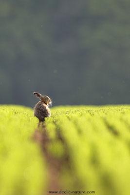 Lièvres - Lepus europaeus - Brown Hare (34)