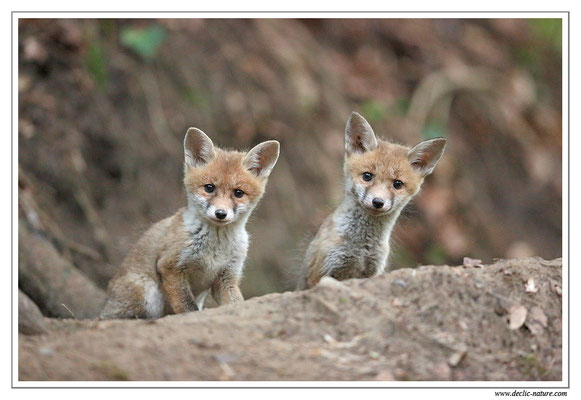 Photo Renard_90 (Renard roux -Vulpes vulpes - Red Fox)