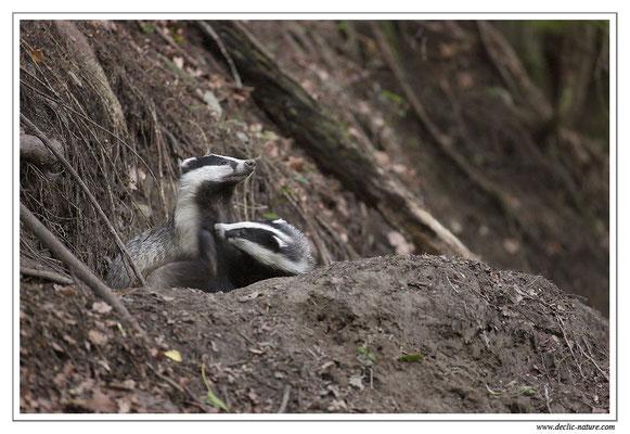 Photo_Blaireau_8 (Blaireaux - Meles meles - Eurasian Badger)