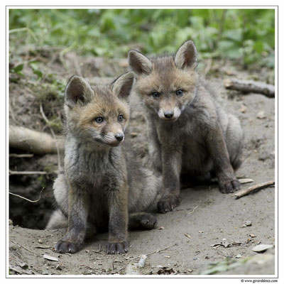 Photo Renard_15 (Renard roux -Vulpes vulpes - Red Fox)