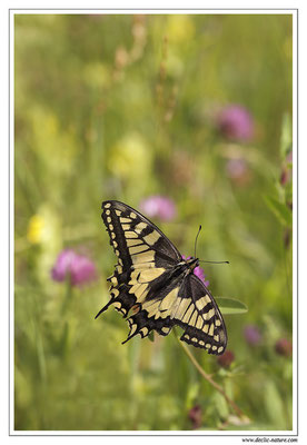 Machaon - Papilio machaon (2)