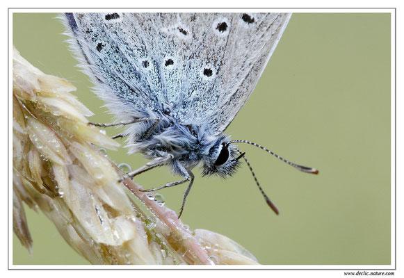 Azuré (espèce) - Polyommatus sp. (difficile d'être plus précis) (2)
