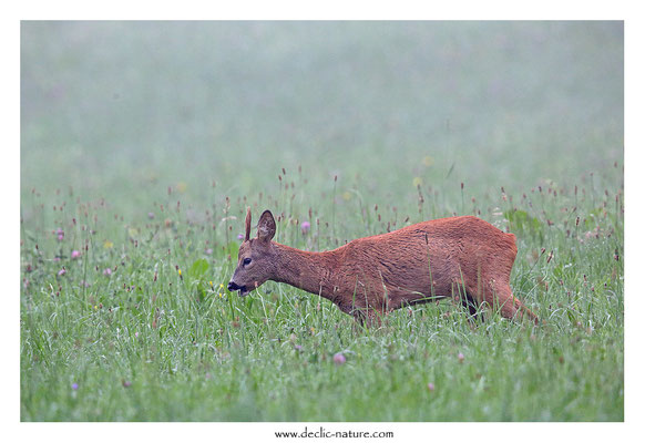 Photo Chevreuil_122 (Chevreuil - Capreolus capreolus - Roe Deer)