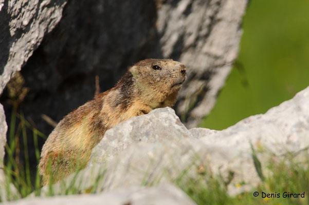 Photo Marmotte_1