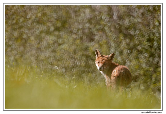 Photo Renard_108 (Renard roux -Vulpes vulpes - Red Fox)