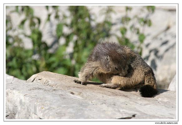 Photo Marmotte_M16