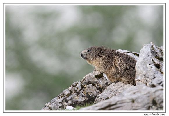 Photo Marmotte_23