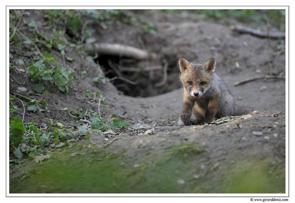 Photo Renard_23 (Renard roux -Vulpes vulpes - Red Fox)