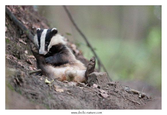 Photo_Blaireau_48 (Blaireaux - Meles meles - Eurasian Badger)