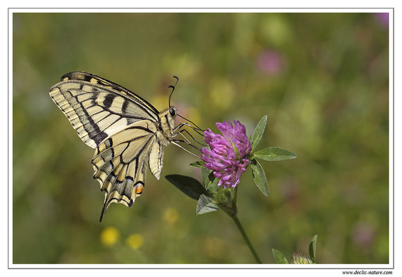 Machaon - Papilio machaon (11)