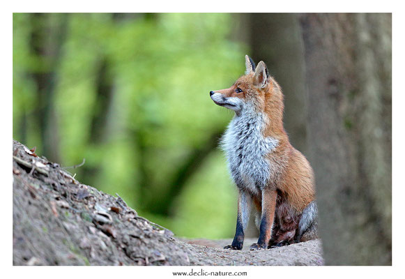 Photo Renard_180 (Renard roux -Vulpes vulpes - Red Fox)