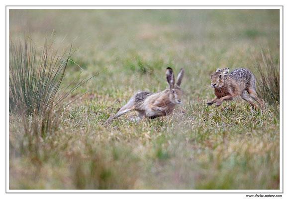 Lièvres - Lepus europaeus - Brown Hare (11)