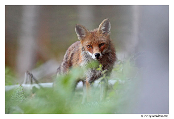 Photo Renard_12 (Renard roux -Vulpes vulpes - Red Fox)