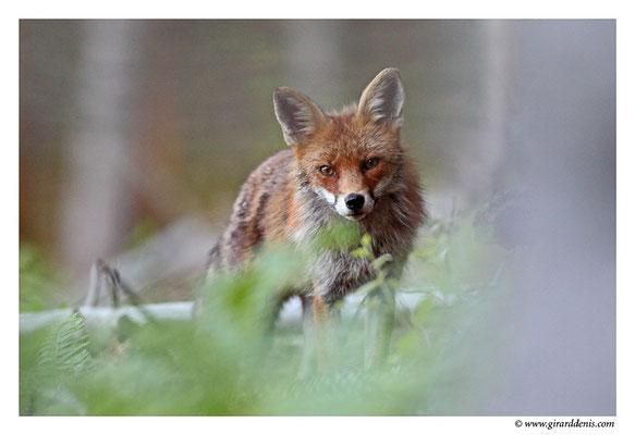 Photo Renard_12 (Renard roux -Vulpes vulpes - Red Fox)