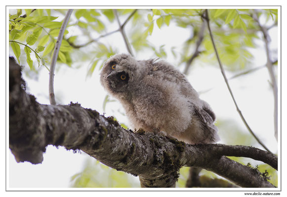 Photo 23 (Hibou moyen-duc - Asio otus - Long-eared Owl)
