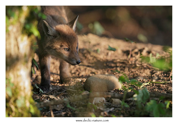 Photo Renard_111 (Renard roux -Vulpes vulpes - Red Fox)