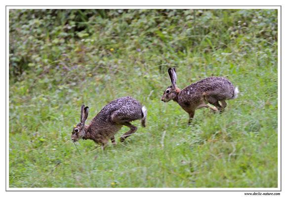 Lièvres - Lepus europaeus - Brown Hare (2)