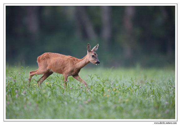 Photo Chevreuil_98 (Chevreuil - Capreolus capreolus - Roe Deer)