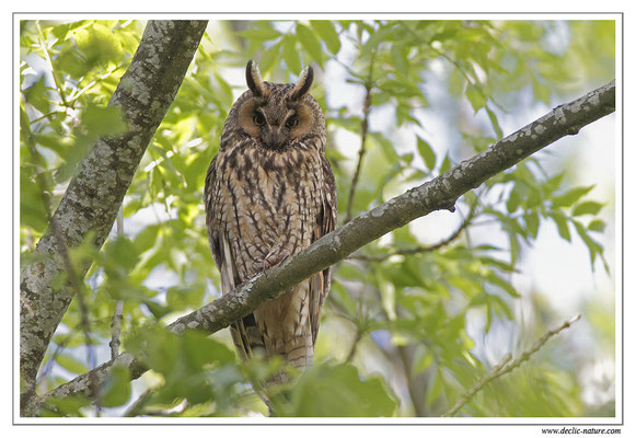 Photo 15 (Hibou moyen-duc - Asio otus - Long-eared Owl)