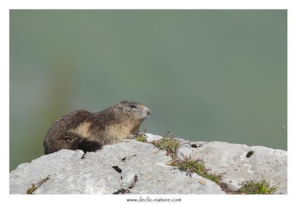 Photo Marmotte_35