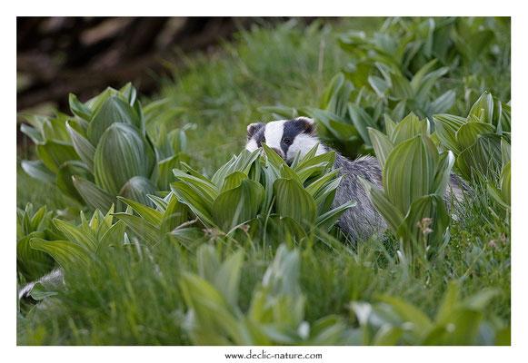 Photo_Blaireau_60 (Blaireaux - Meles meles - Eurasian Badger)