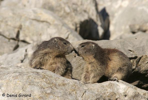 Photo Marmotte_7
