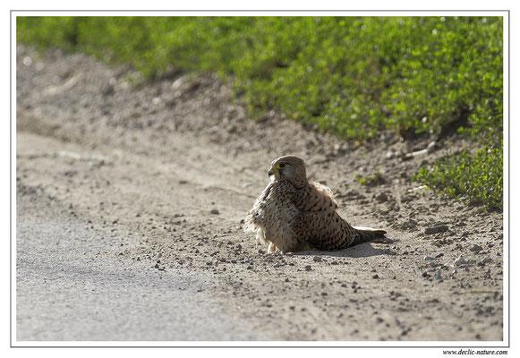 Photo 22 (Faucon crécerelle - Falco tinnunculus - Common Kestrel)