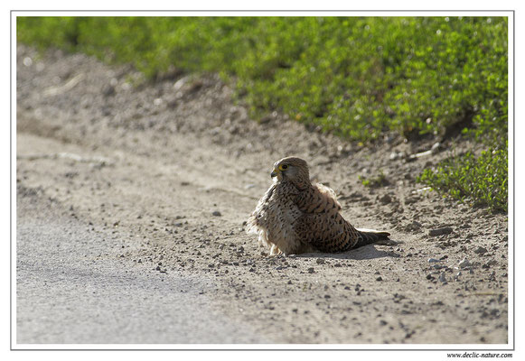 Photo 22 (Faucon crécerelle - Falco tinnunculus - Common Kestrel)