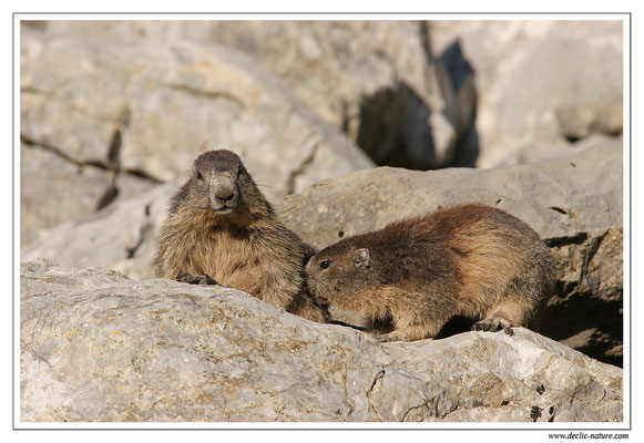 Photo Marmotte_M26
