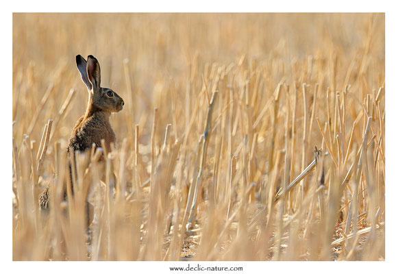 Lièvres - Lepus europaeus - Brown Hare (44)