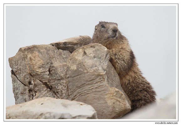 Photo Marmotte_17